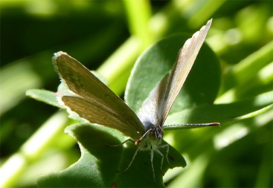 Little Bitterbush Blue Butterfly