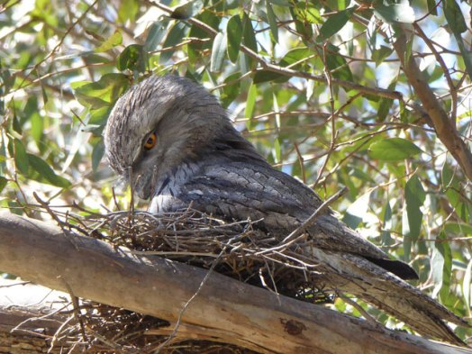 Male Tawny Frogmouth