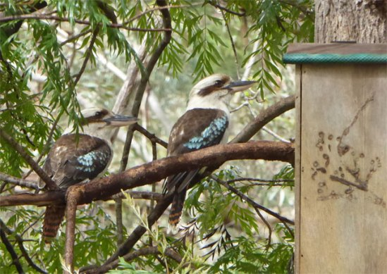 Kookaburras checking out a nest box