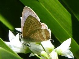 Bitterbush Blue Butterfly