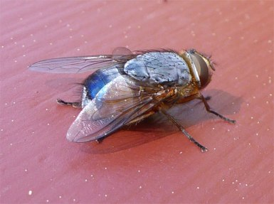 Blue bottomed fly