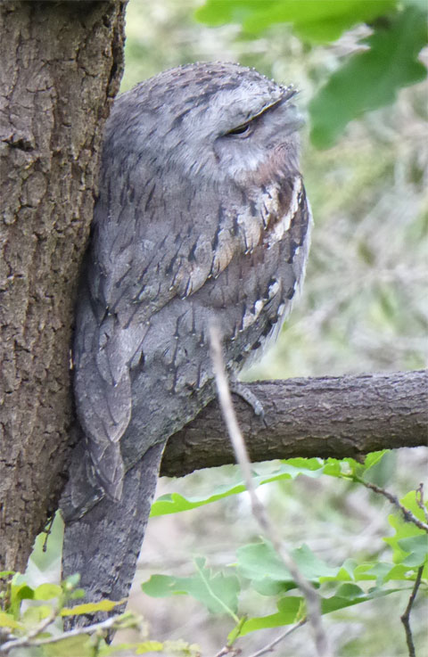 Female Tawny Frogmouth