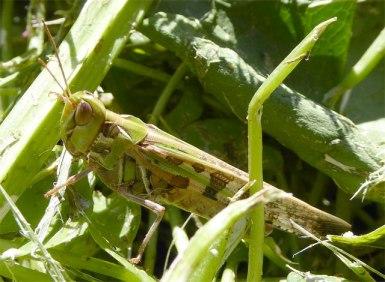 Locust -green camo
