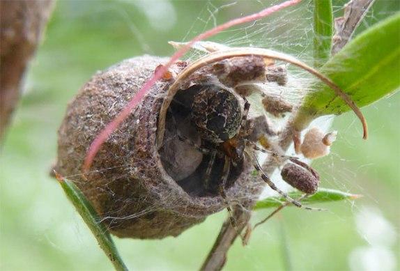 spider-gumnut