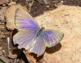 Rayed Blue butterfly