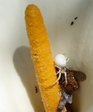 White spider with massive meal