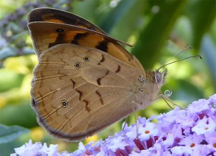 Common Brown Butterfly