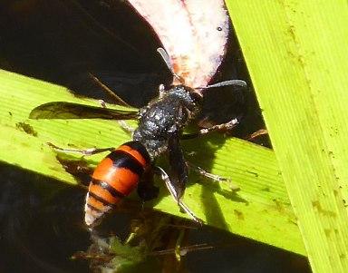 Mason Wasp -I think