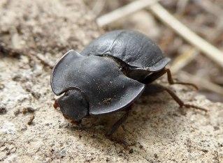 Piedish beetle