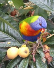 Rainbow Lorikeet in the Loquat Tree