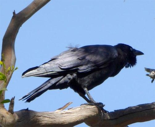 A Raven calling