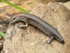 A Skink that has lost its tail
