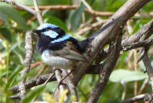 Superb Fairy Wren - male