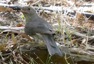 Grey Shrike-thrush