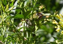 Sneaky little Silvereye