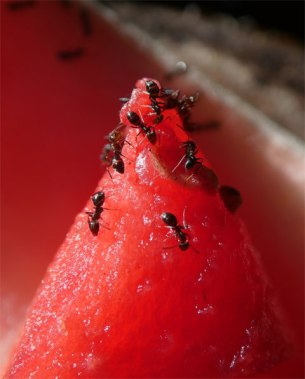Ants on Mt Watermelon