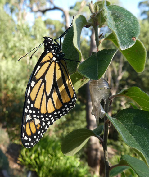 Monarch just out of its pupa.