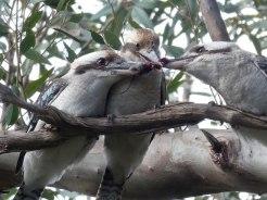 Kookaburra tug-of-war over a rat