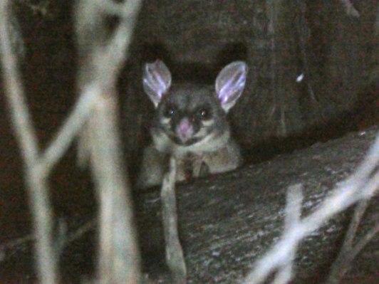 Possum - Brushtail, I think