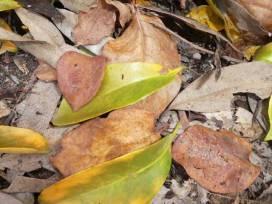 leaves-oranges