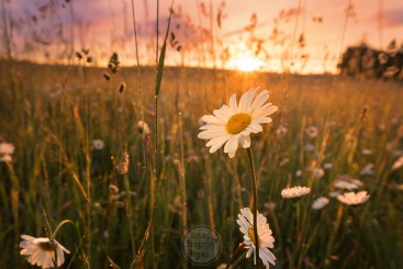 Close up with a daisy under golden sunrise light