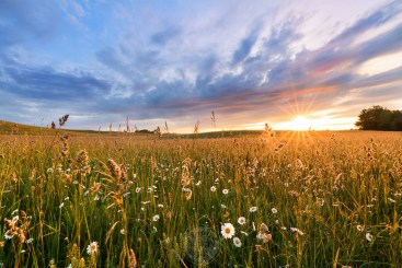 A field of daisies outside Traverse City glistens in the bright light of early morning