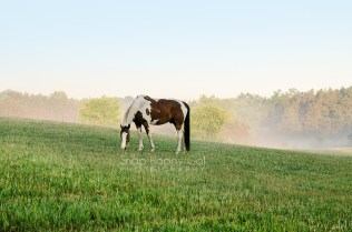Photo: A painted horse grazes in the lifting morning fog