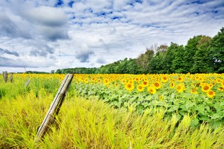 Photo: Field of sunflowers - Acme, Michigan
