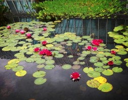 lily pond cluster