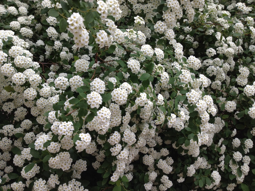 Pictures Of Small White Flowers And Their Names Kayaflower