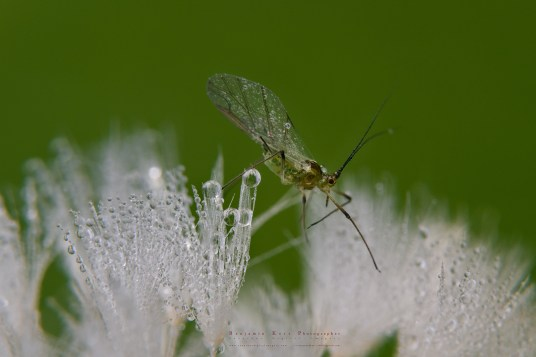 Dandelion Seeds and a Guest