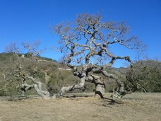 carmel_holman_ranch_tree