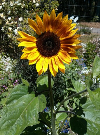 botanical_garden_sunflower