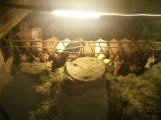 efstidalur_farm_cows