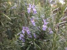 rosemary_flowers