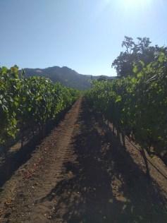 calistoga_vineyard_row