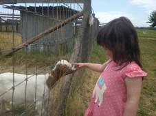 farm_goats_1