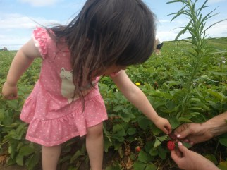 farm_picking_strawberries_1