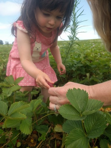 farm_picking_strawberries_3