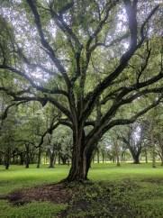 plantation_tree