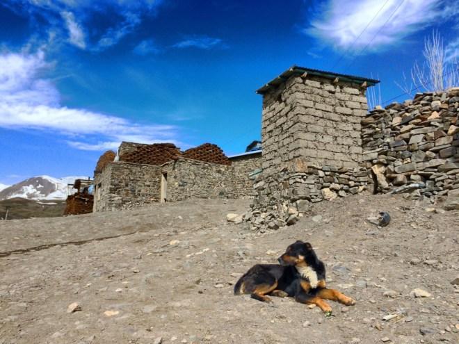 Khinalug stray dog