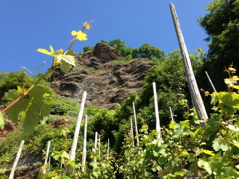 Looking up the incline through the vines of the Erdener Treppchen at Weingut Schmitges