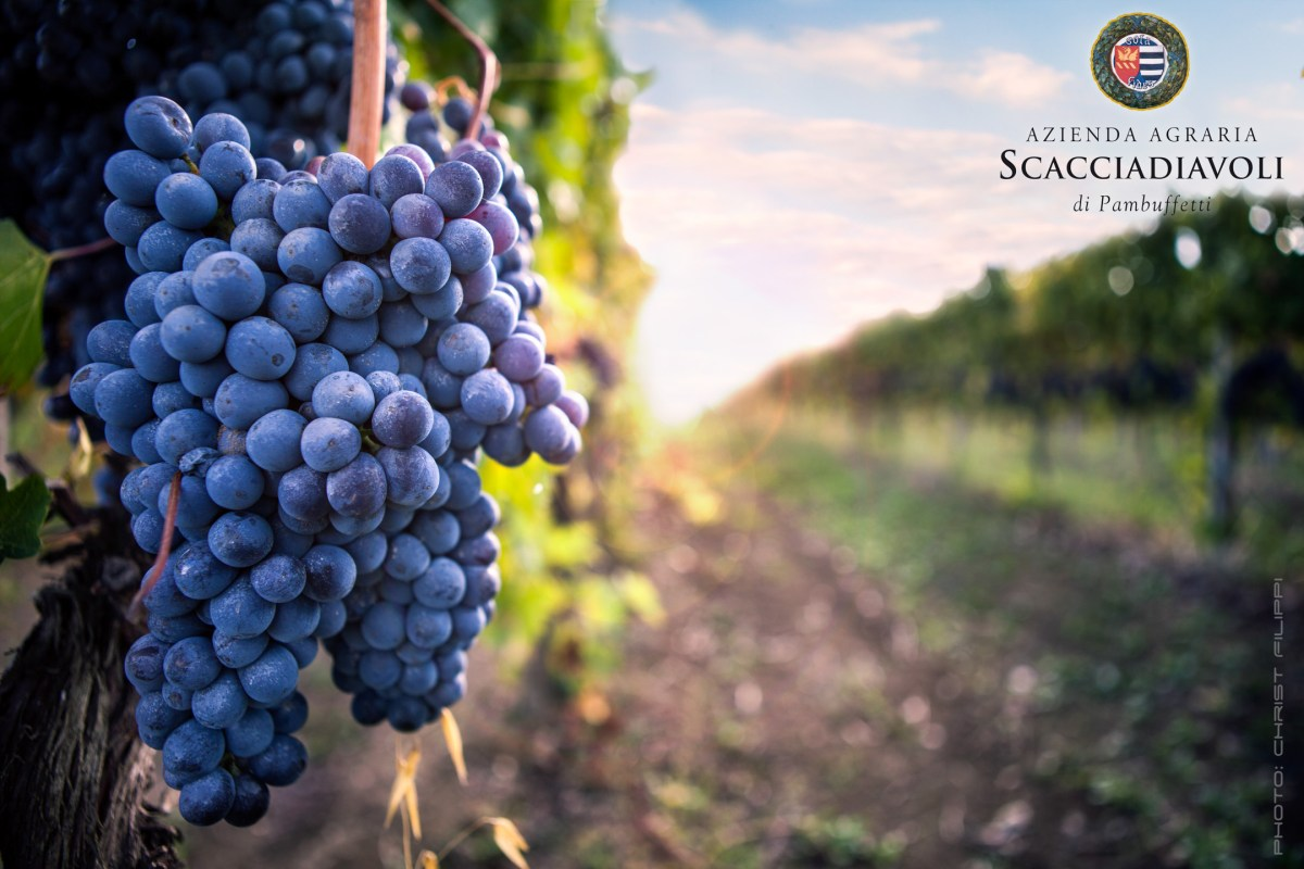 A ripe bunch of Sagrantino on the vine