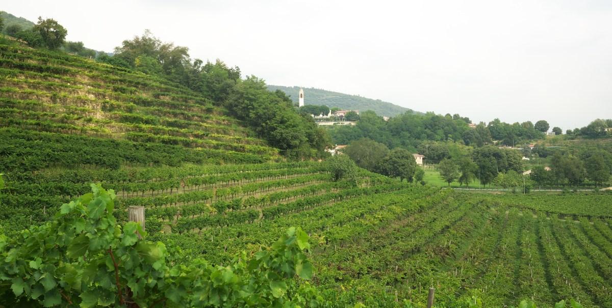 Colli Berici Vineyards