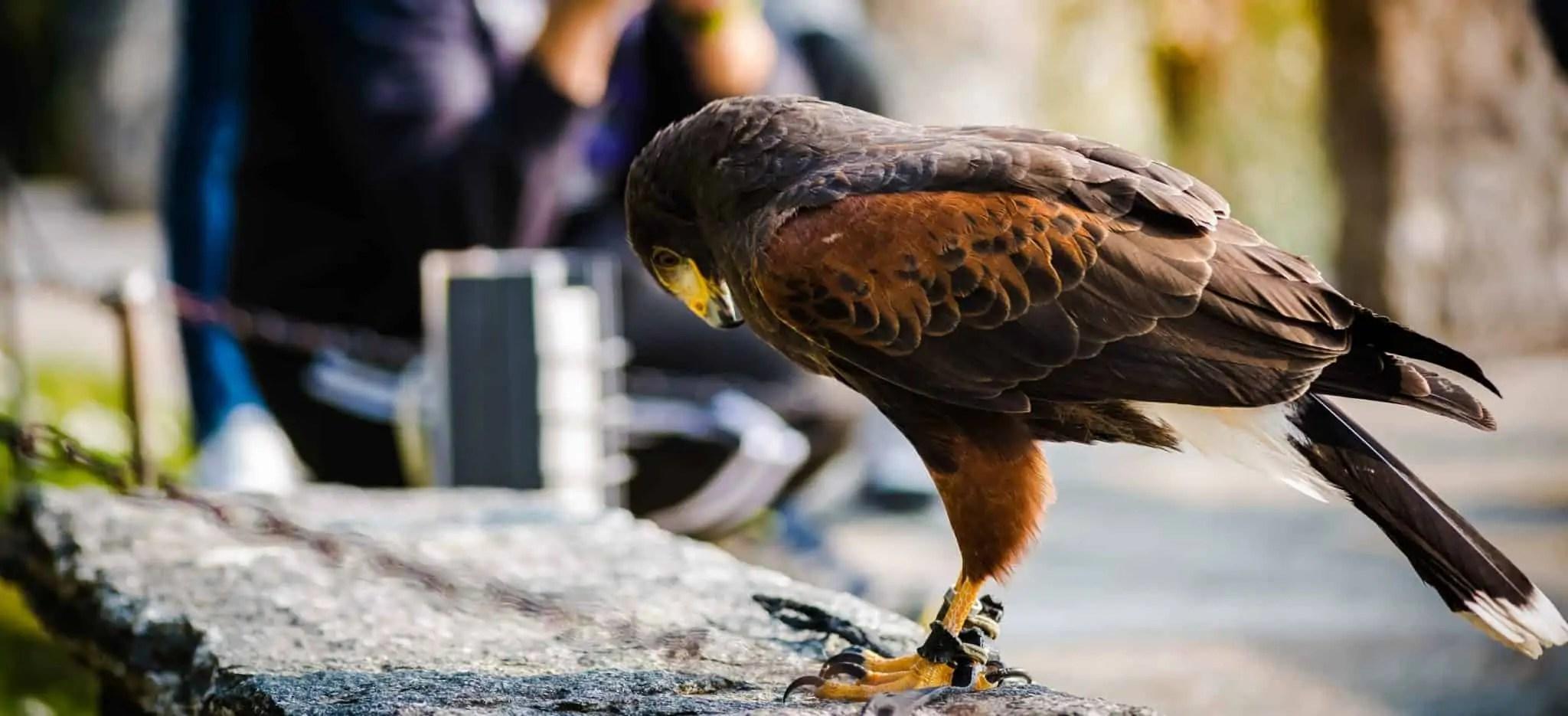 falcon at castello di vezio, varenna