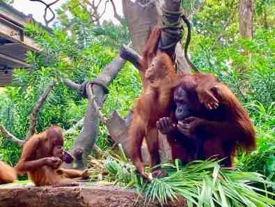Orangutans at Singapore Zoo