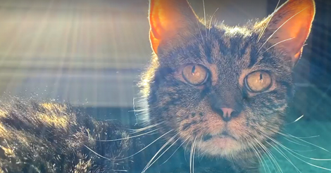 Dark tabby cat with large dark yellow eyes is lit from behind by rays of sunlight.