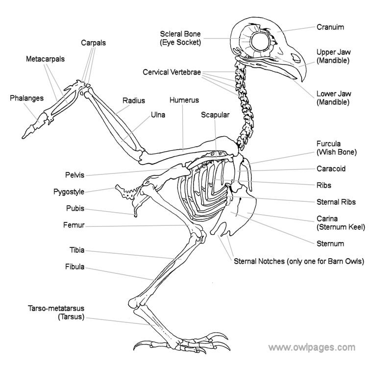 origami eagle instructions diagram ultrasonic motion detector circuit het skelet van een sneeuwuil -