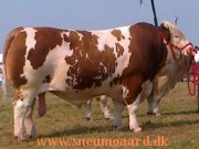 simmental herd bull