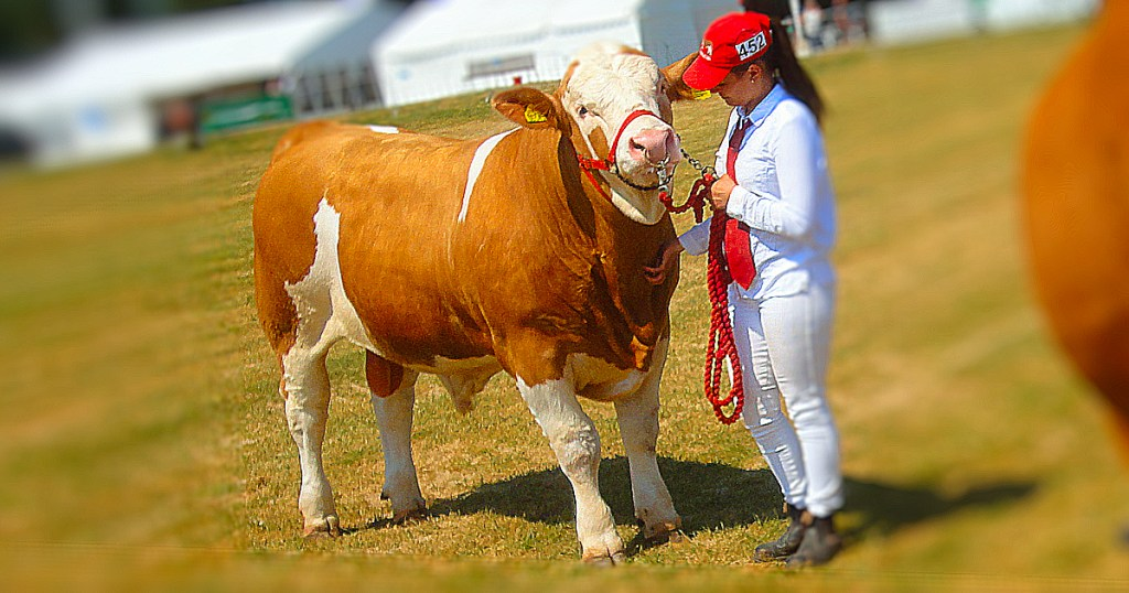 Best simmental bull